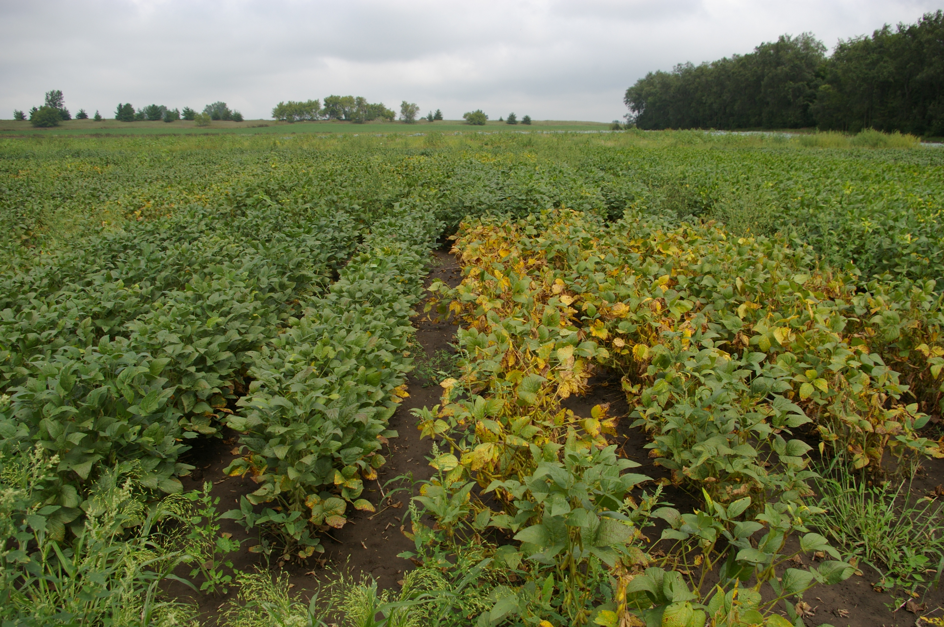 Soybean varieties differ in susceptibility to Septoria brown spot.