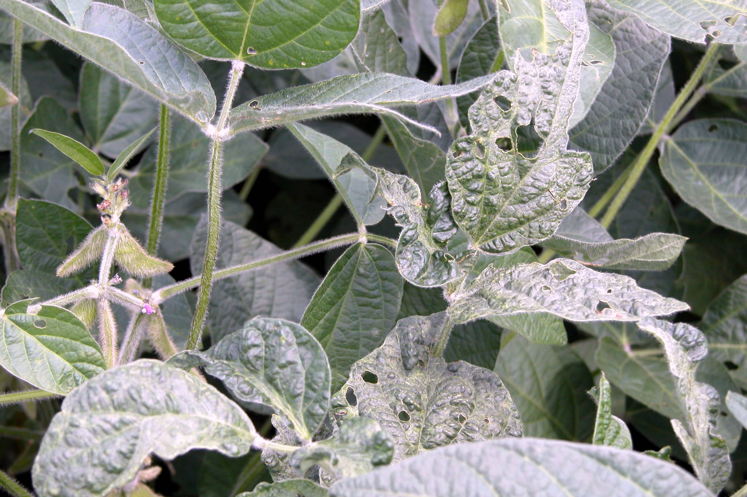 Symptoms of soybean mosaic on foliage.