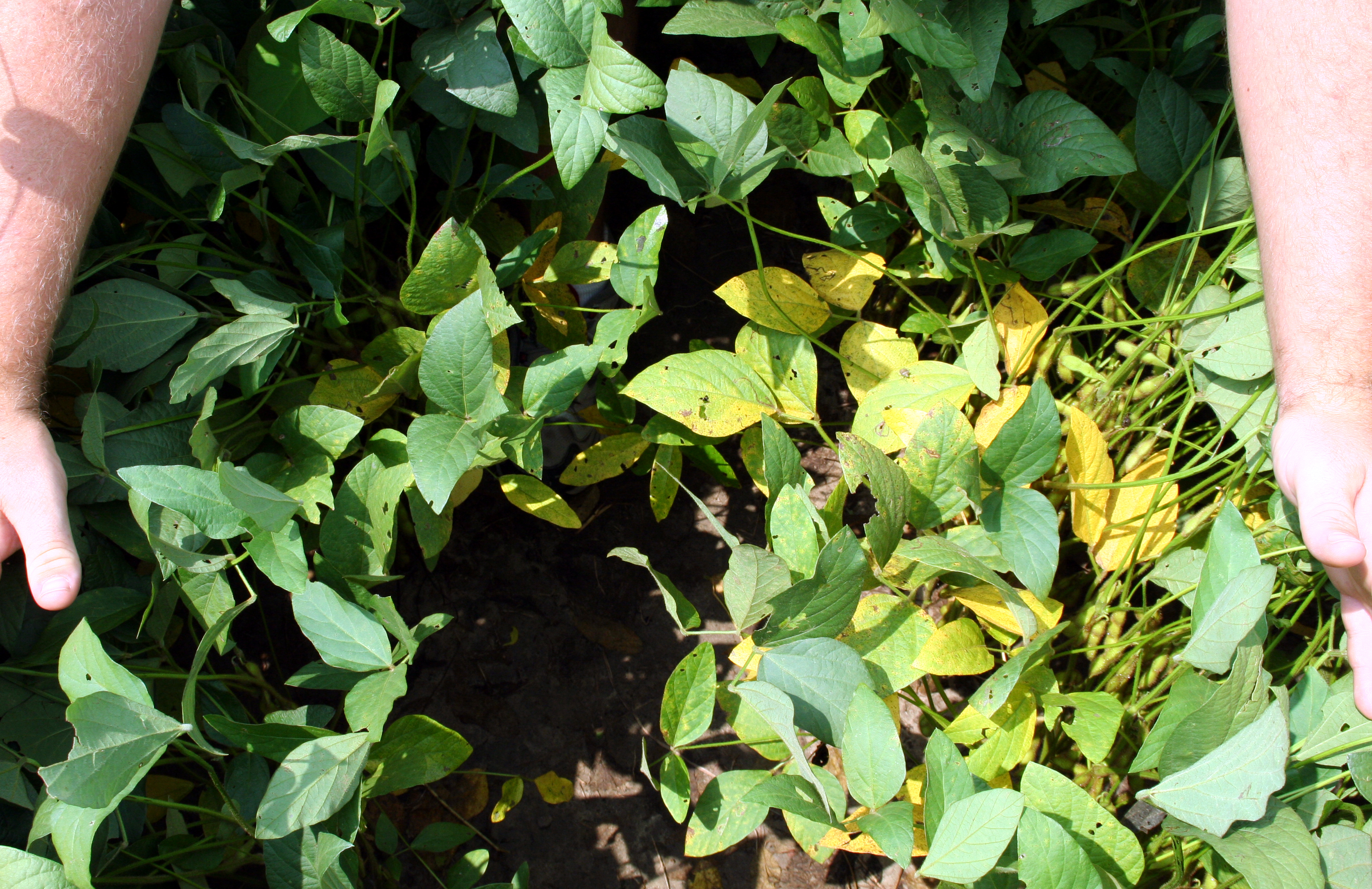 Canopy leaves parted to reveal lower leaves with soybean rust.