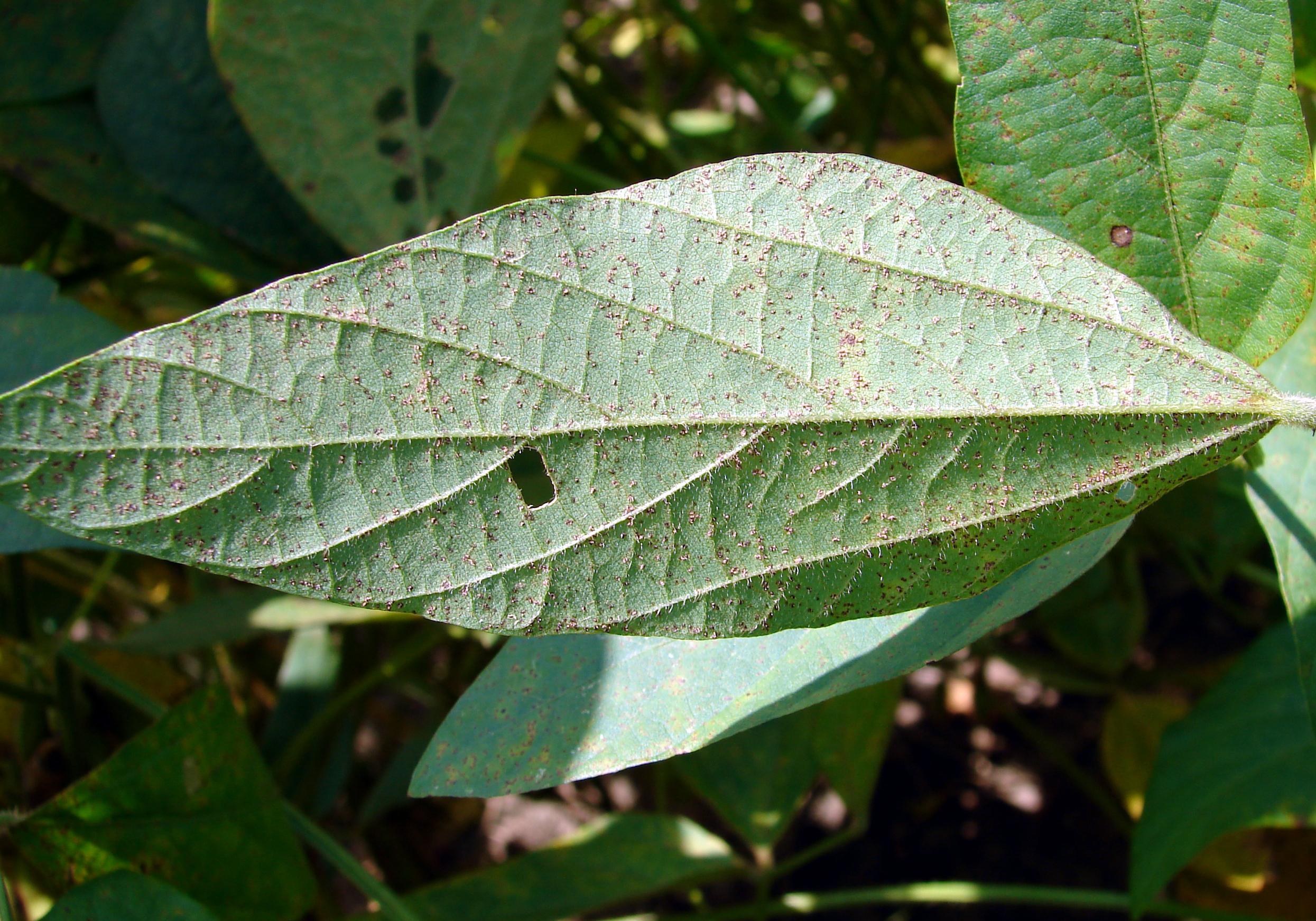 Leaf underside showing symptoms of soybean rust.