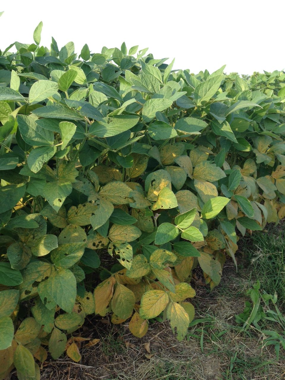 Soybean rust begins on the lower leaves in the canopy.