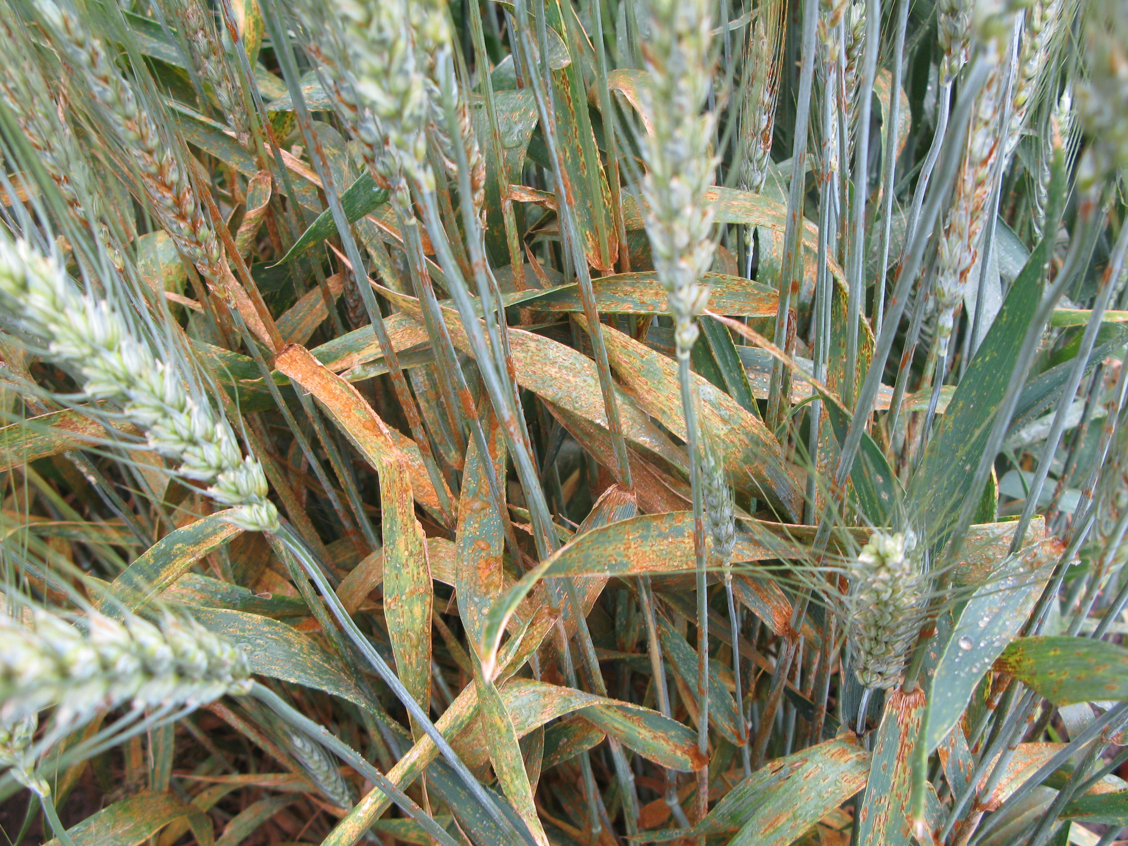 Stem rust may infect any part of the aboveground portions of the wheat plant.