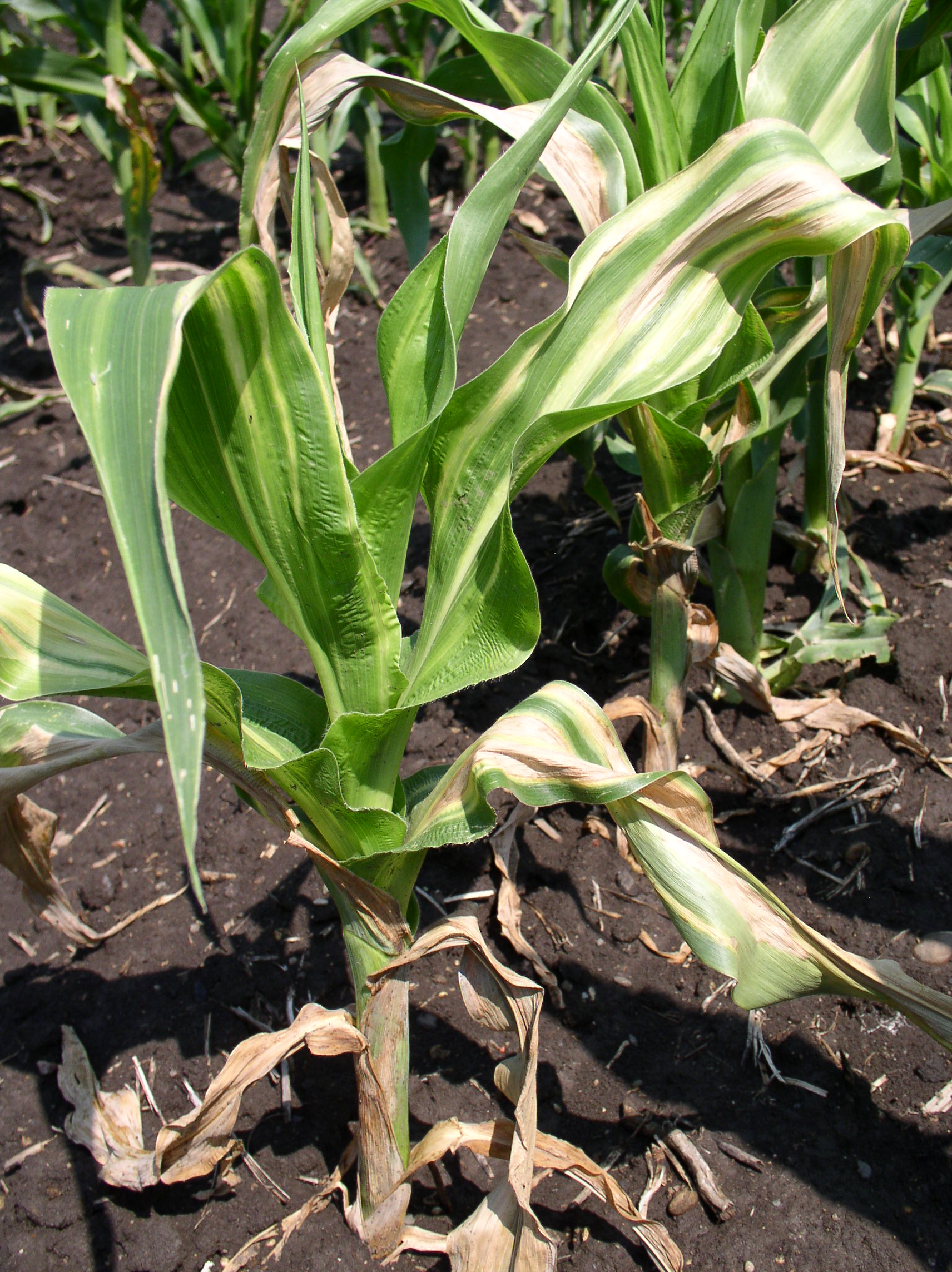 If stalk infection occurs, the entire plant will wilt.