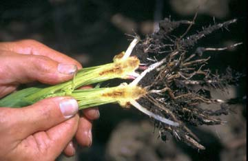 Stewart's wilt can cause decayed cavities within stalk tissue.