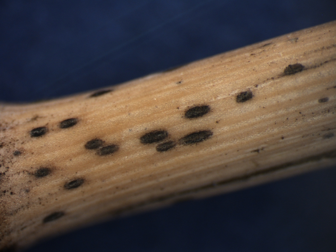 Dark, fungal reproductive structures produced by the pathogen that causes tan spot.
