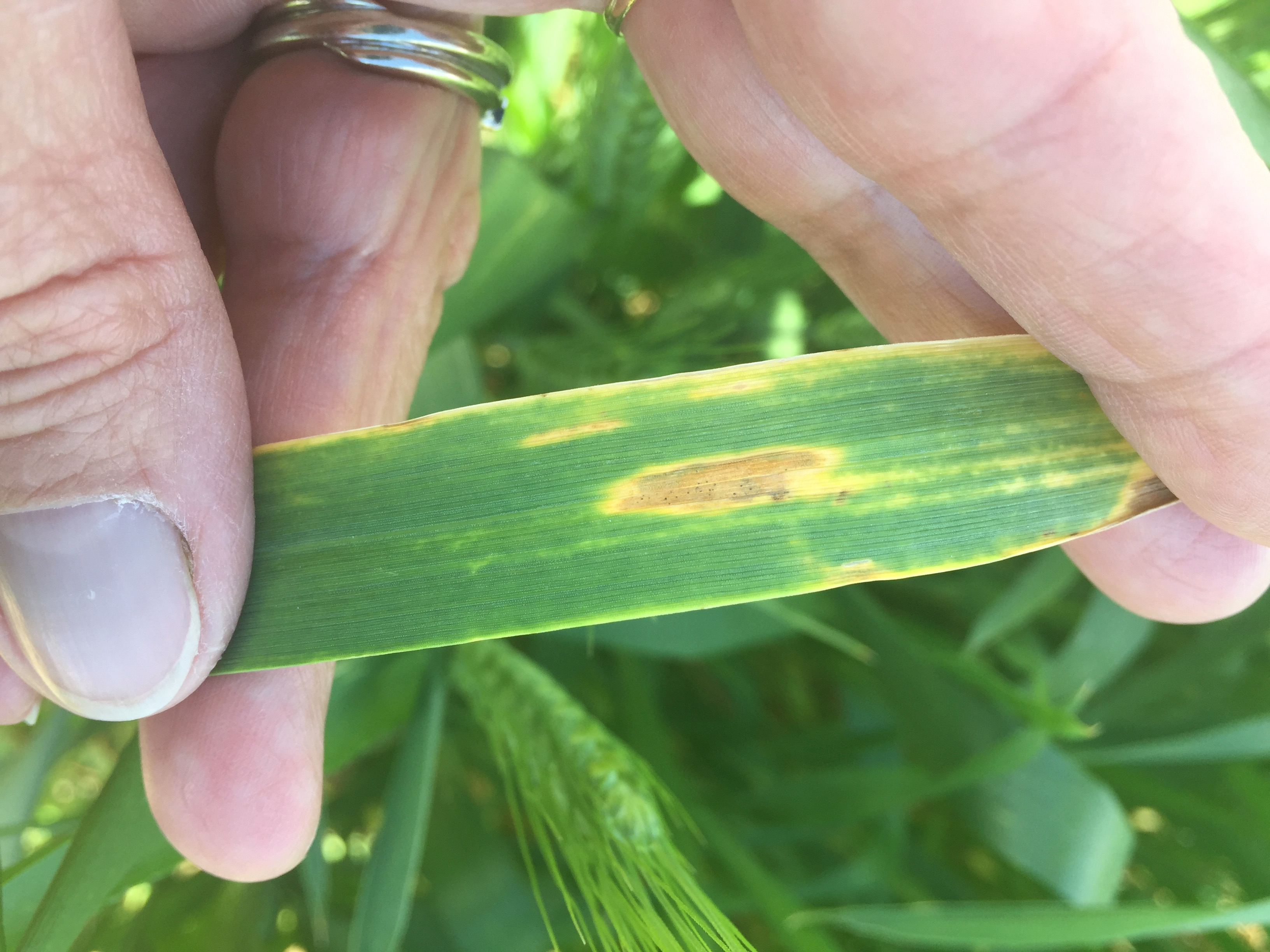 Tan spot leaf lesion on wheat.