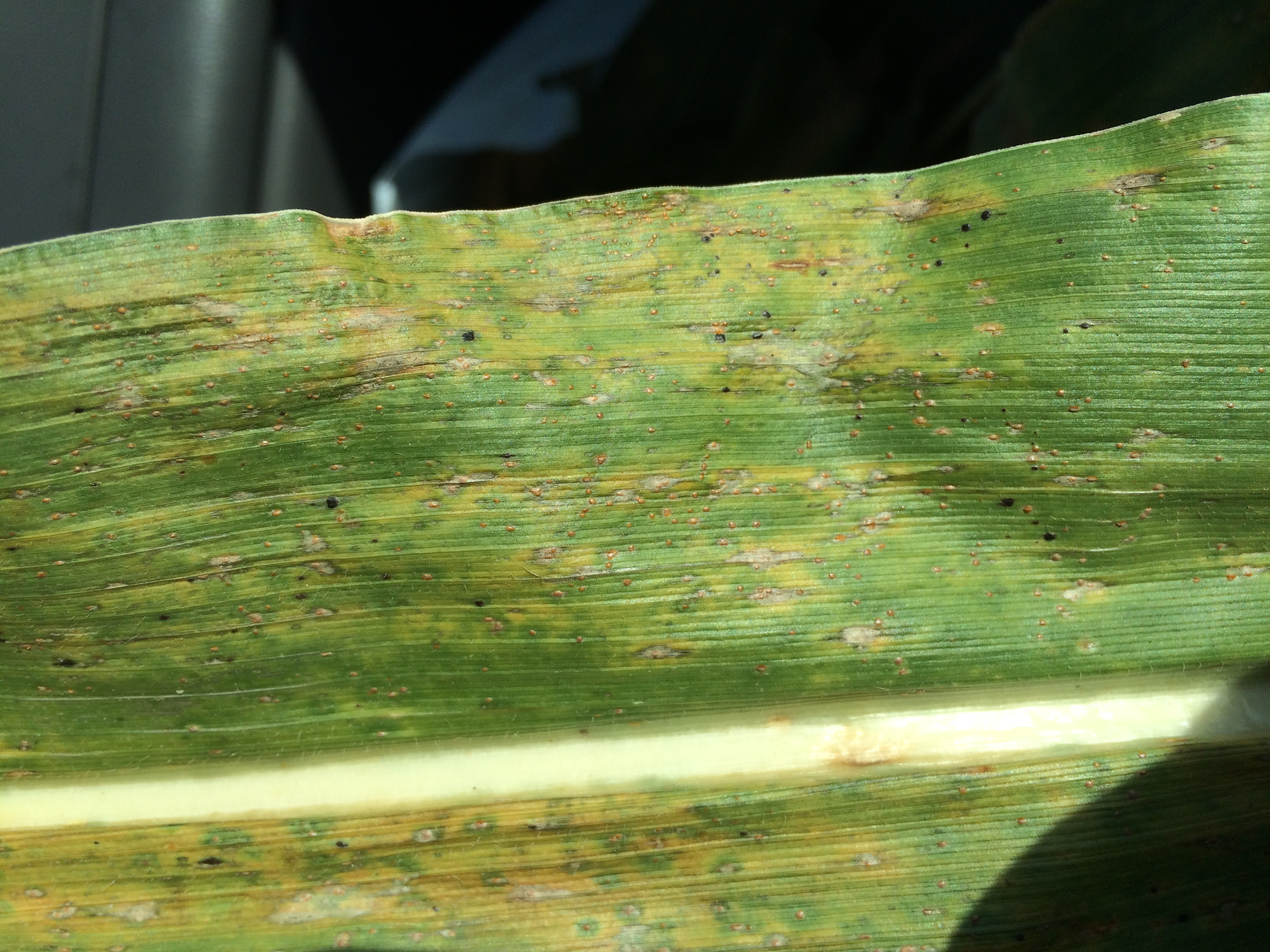 Tar spot developing on corn leaf.