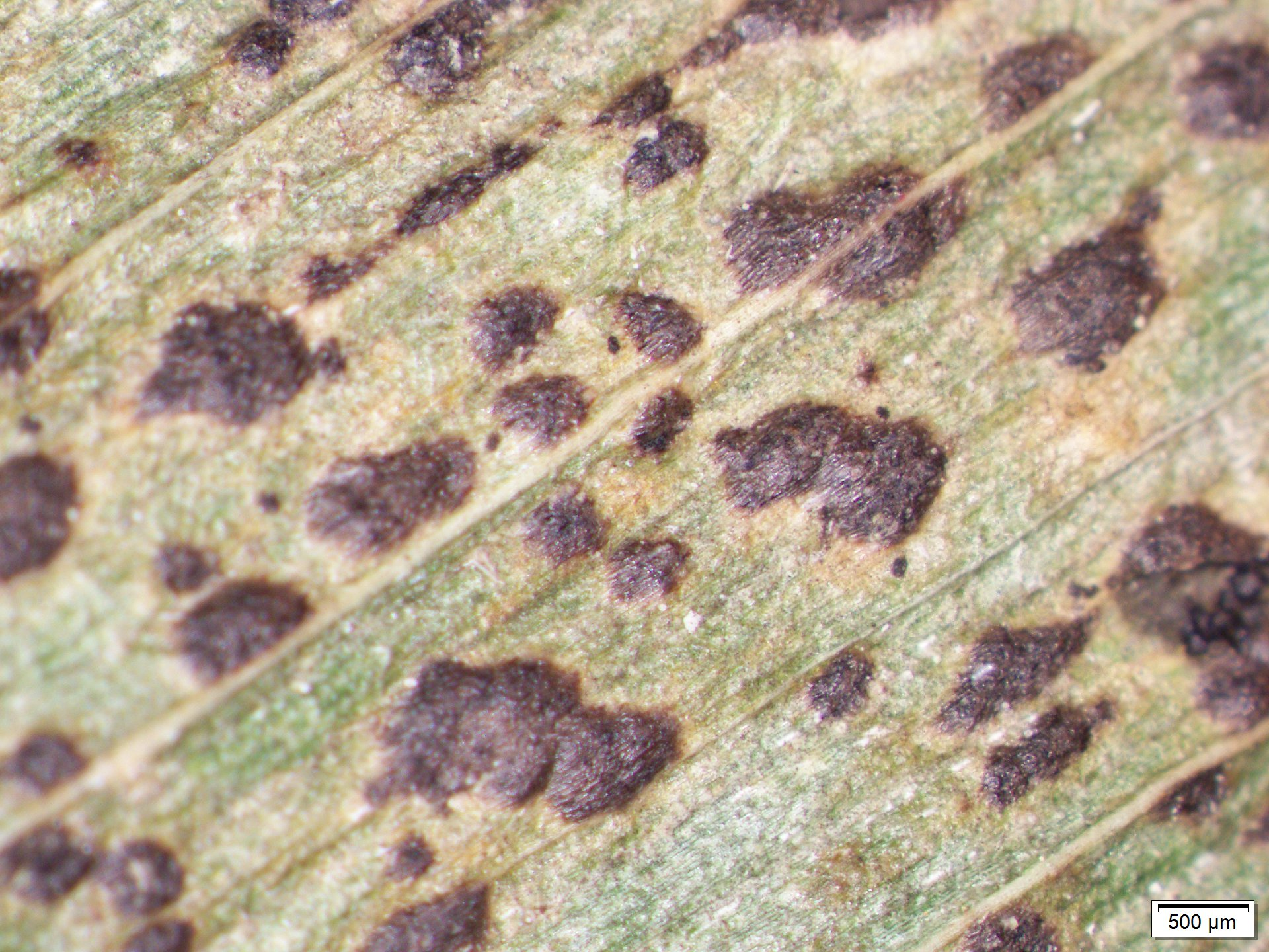 Fungal fruiting structures characteristic of tar spot.