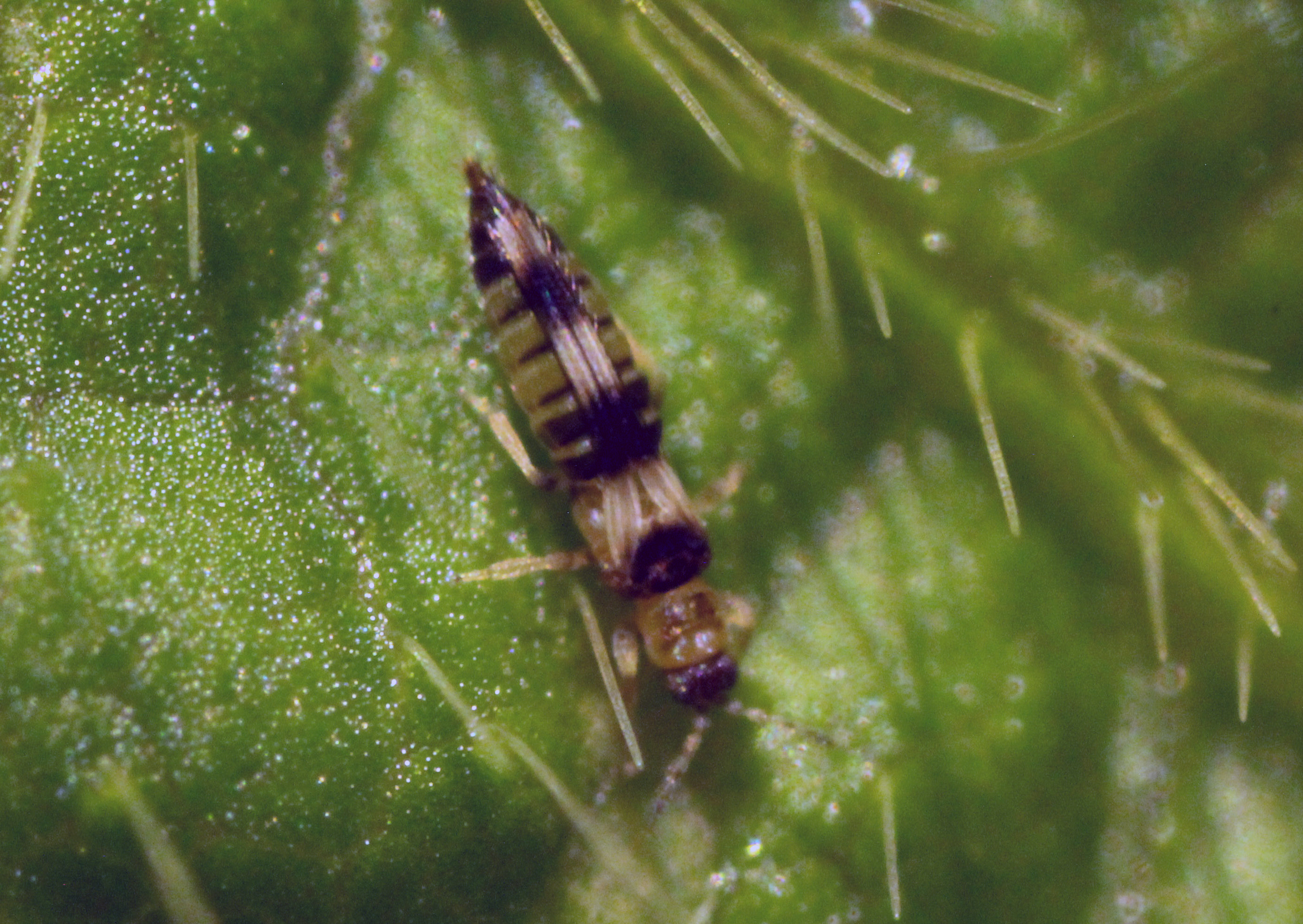 Hot, dry weather that favors thrips may cause increased disease spread.