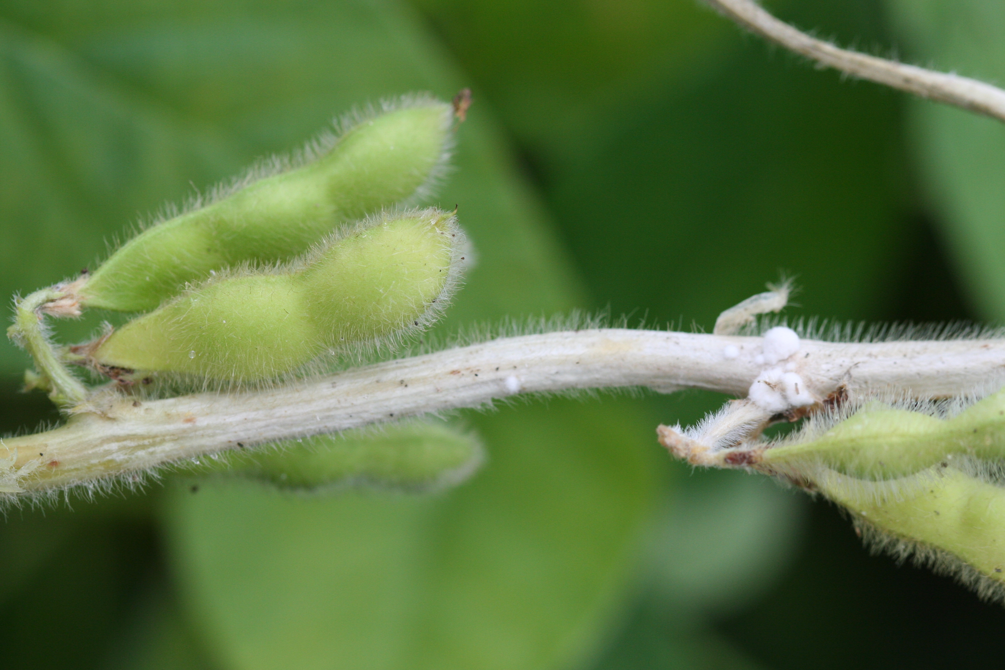 Stem bleaching indicative of white mold.
