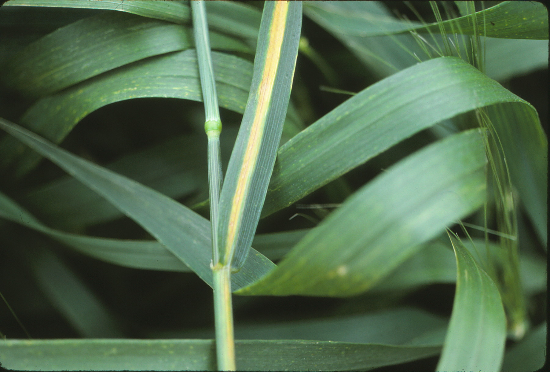 As the plant matures, one to three distinct, yellow stripes appear near leaf veins.