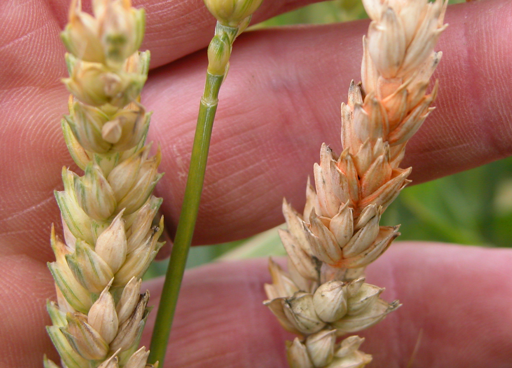 Pink or orange spore masses can sometimes be seen on spikelets.