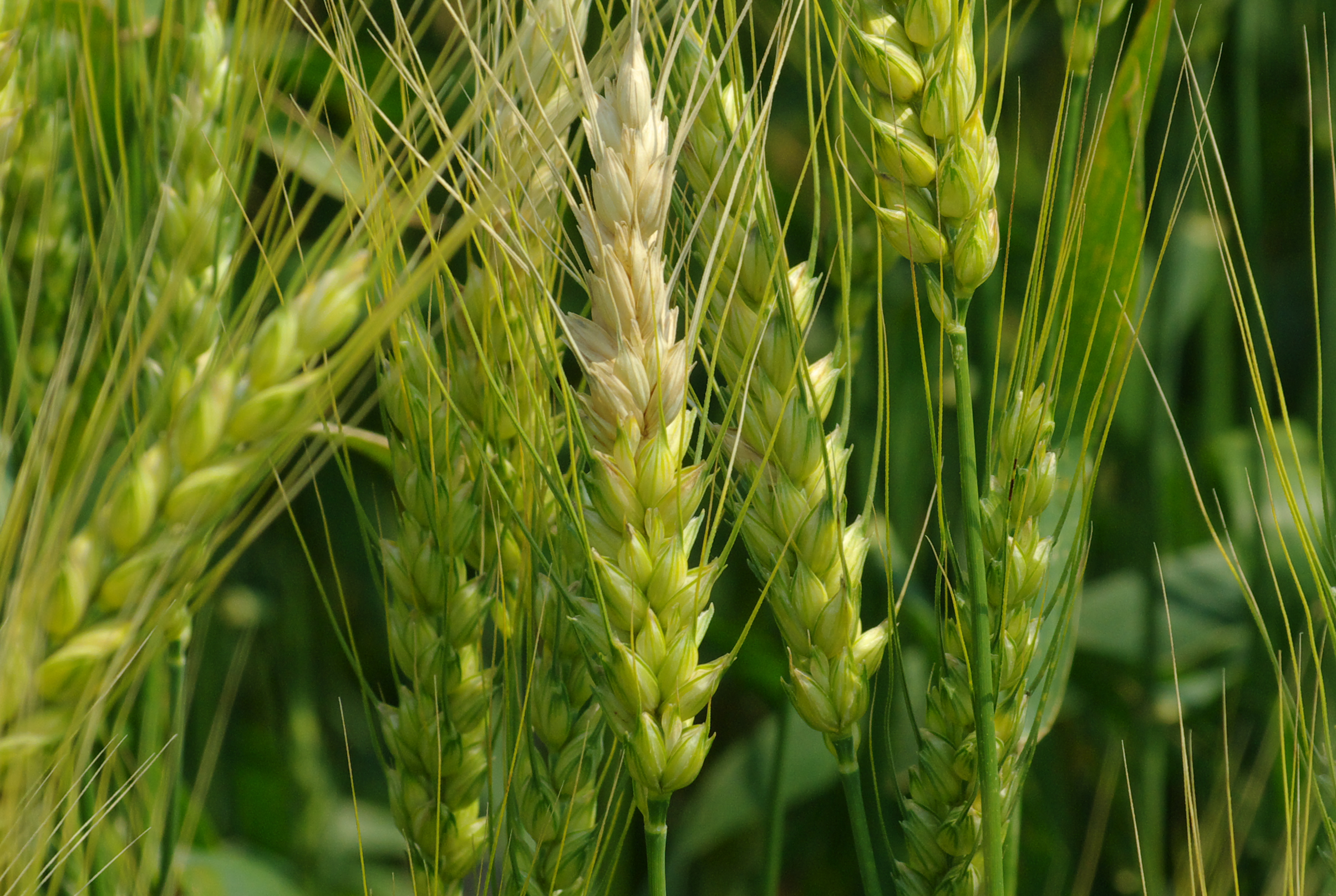 Fusarium head blight bleaching can occur on single spikelets and spread.