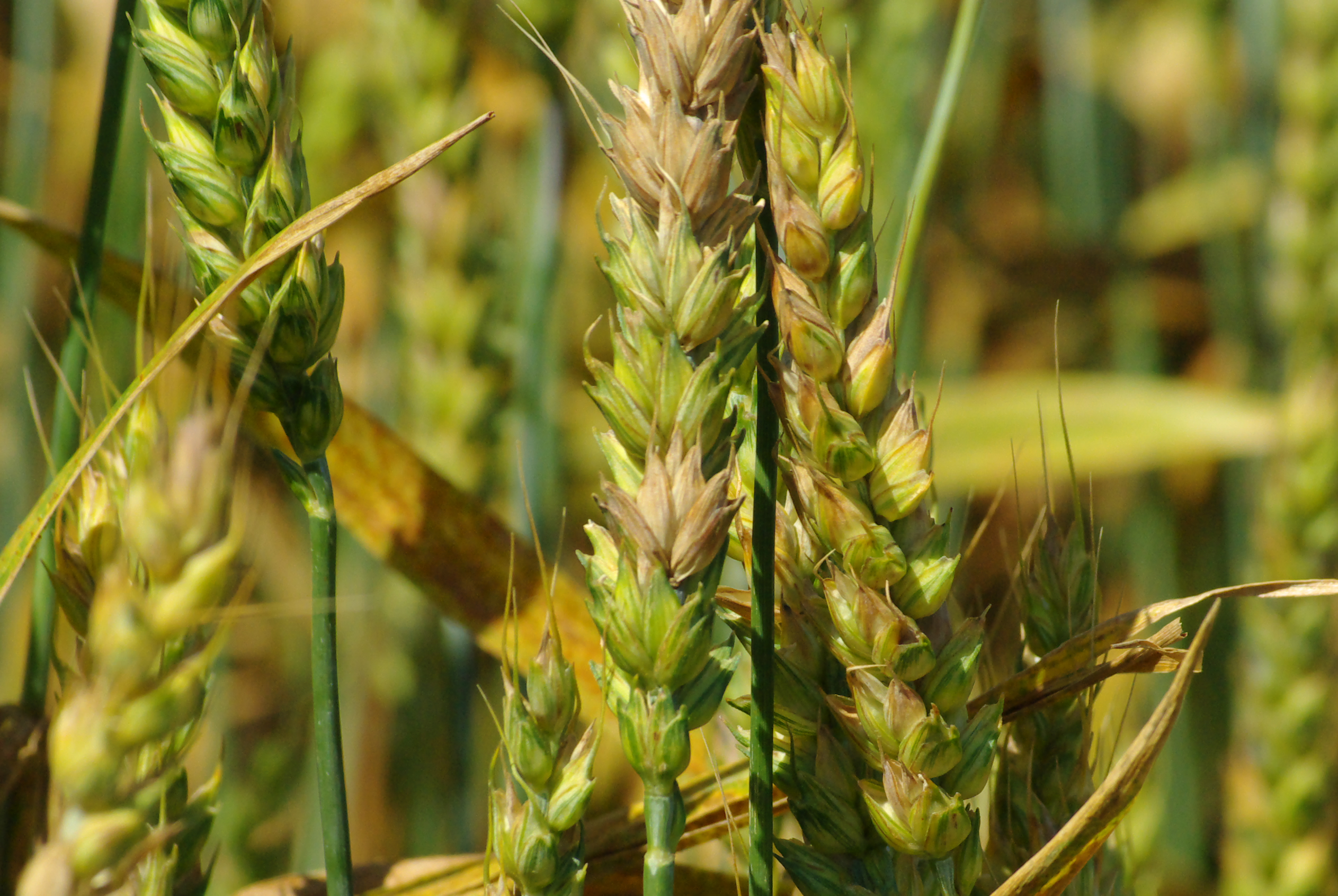Fusarium head blight reduces yield and mycotoxins are produced.