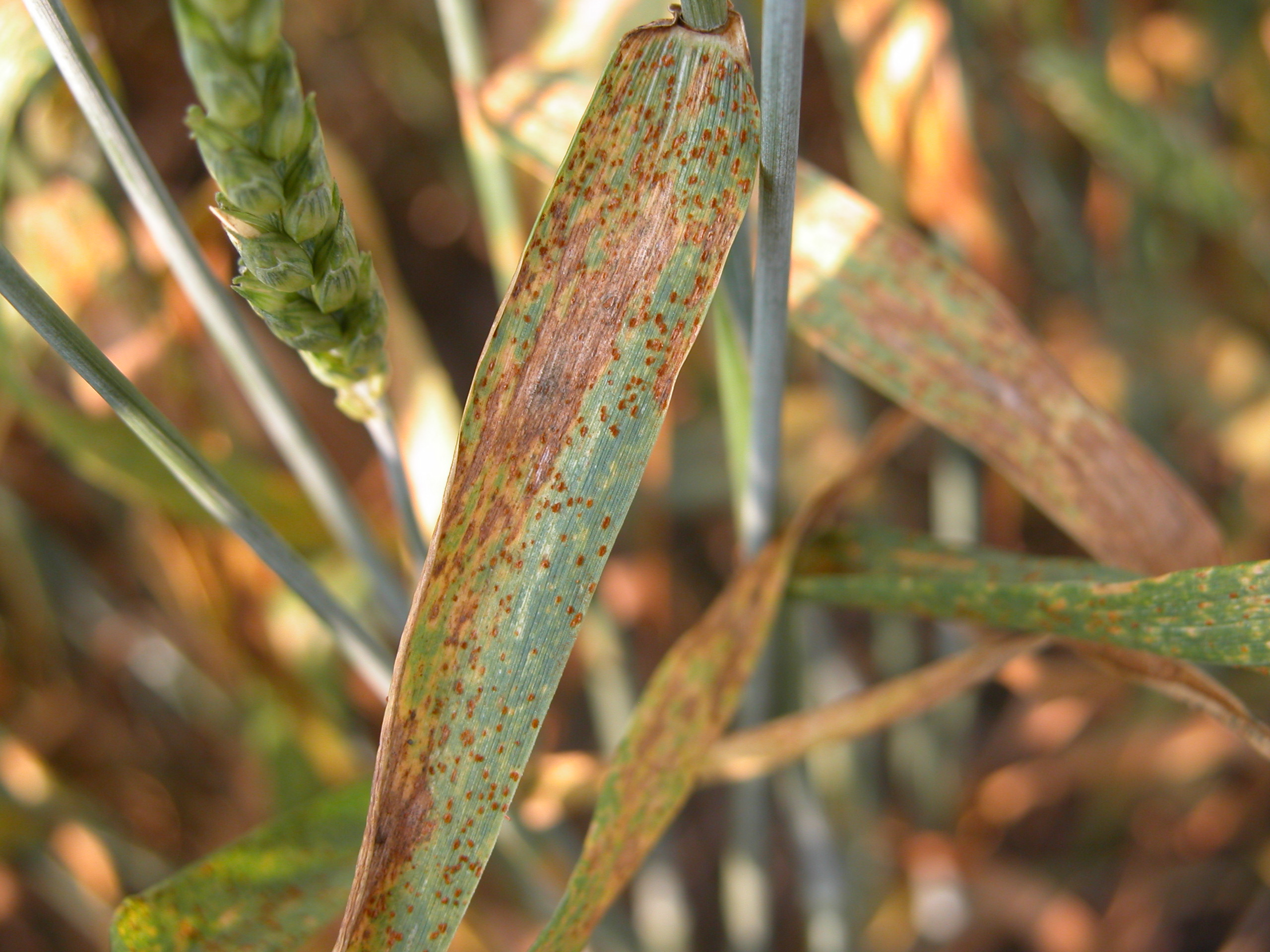 Leaf rust pustules contain orange-brown, rusty colored spores.
