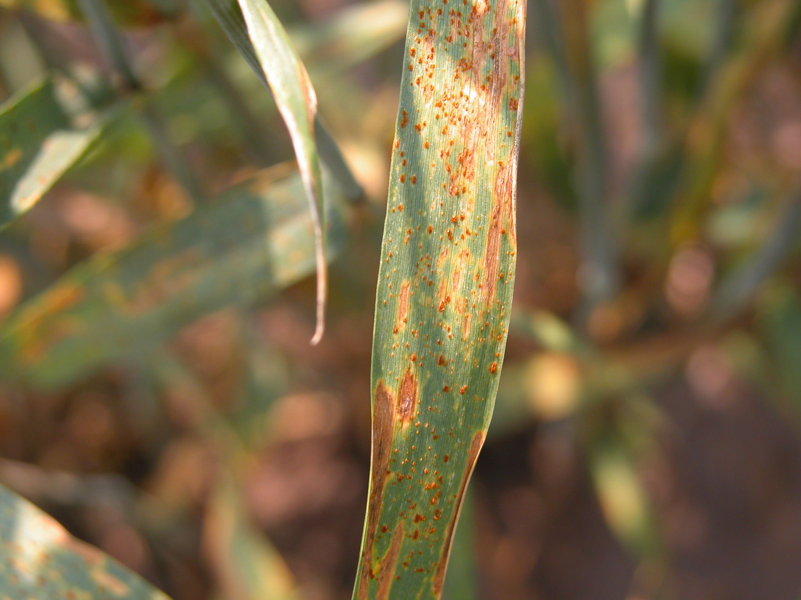 Leaf rust foliar symptoms.