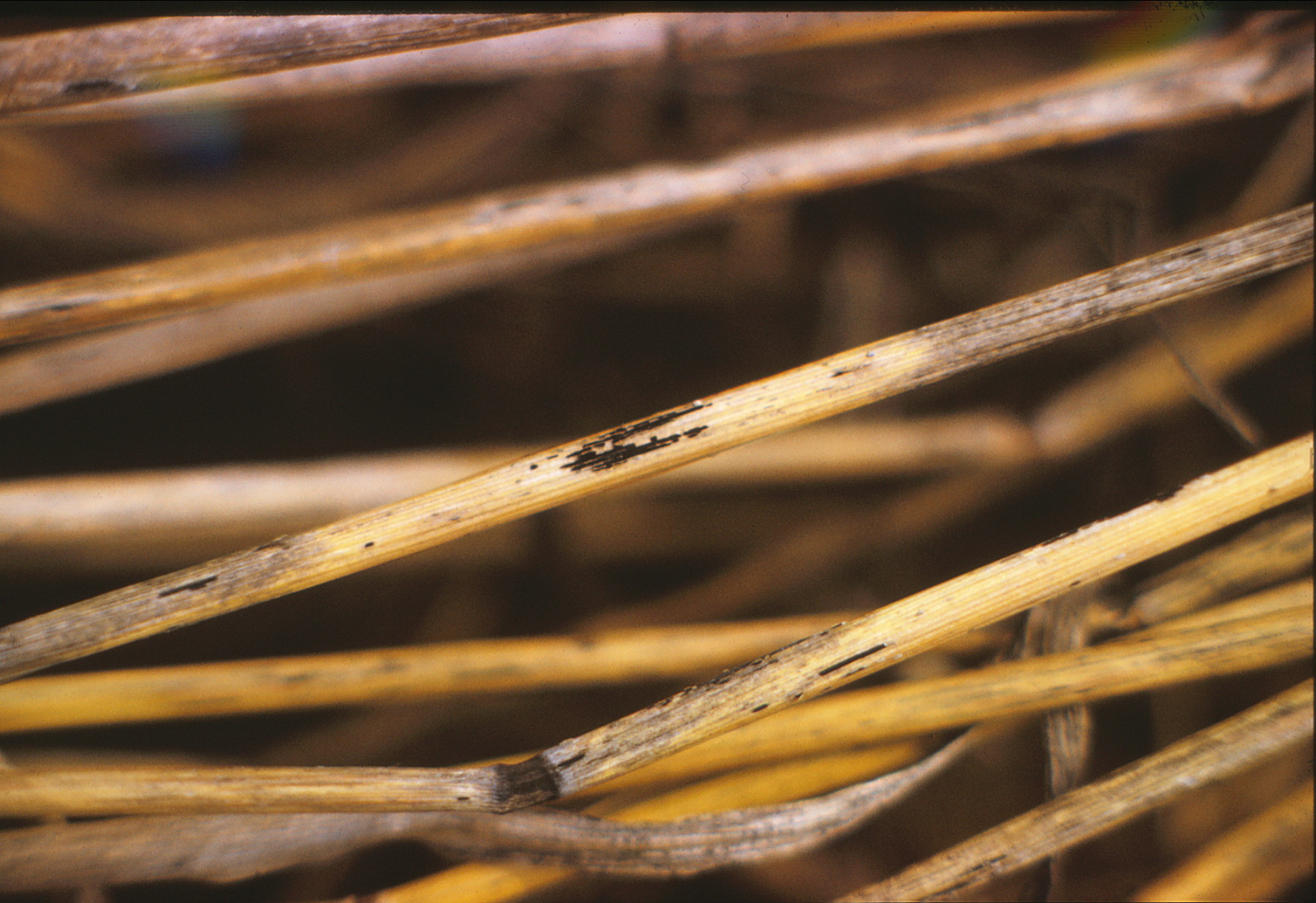 Stem rust on dead wheat stems.