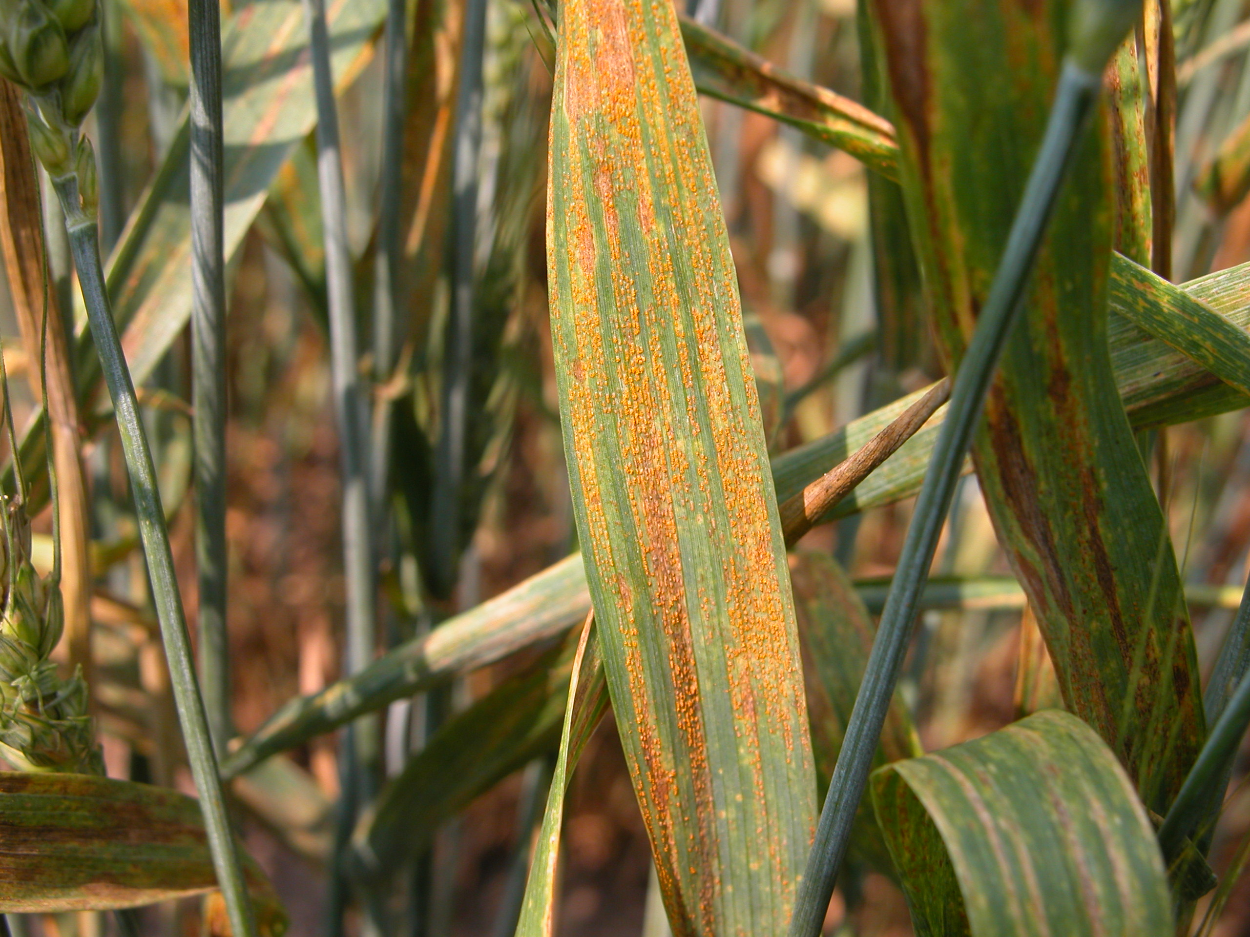 Stripe rust symptoms and signs on leaf tissue of wheat.