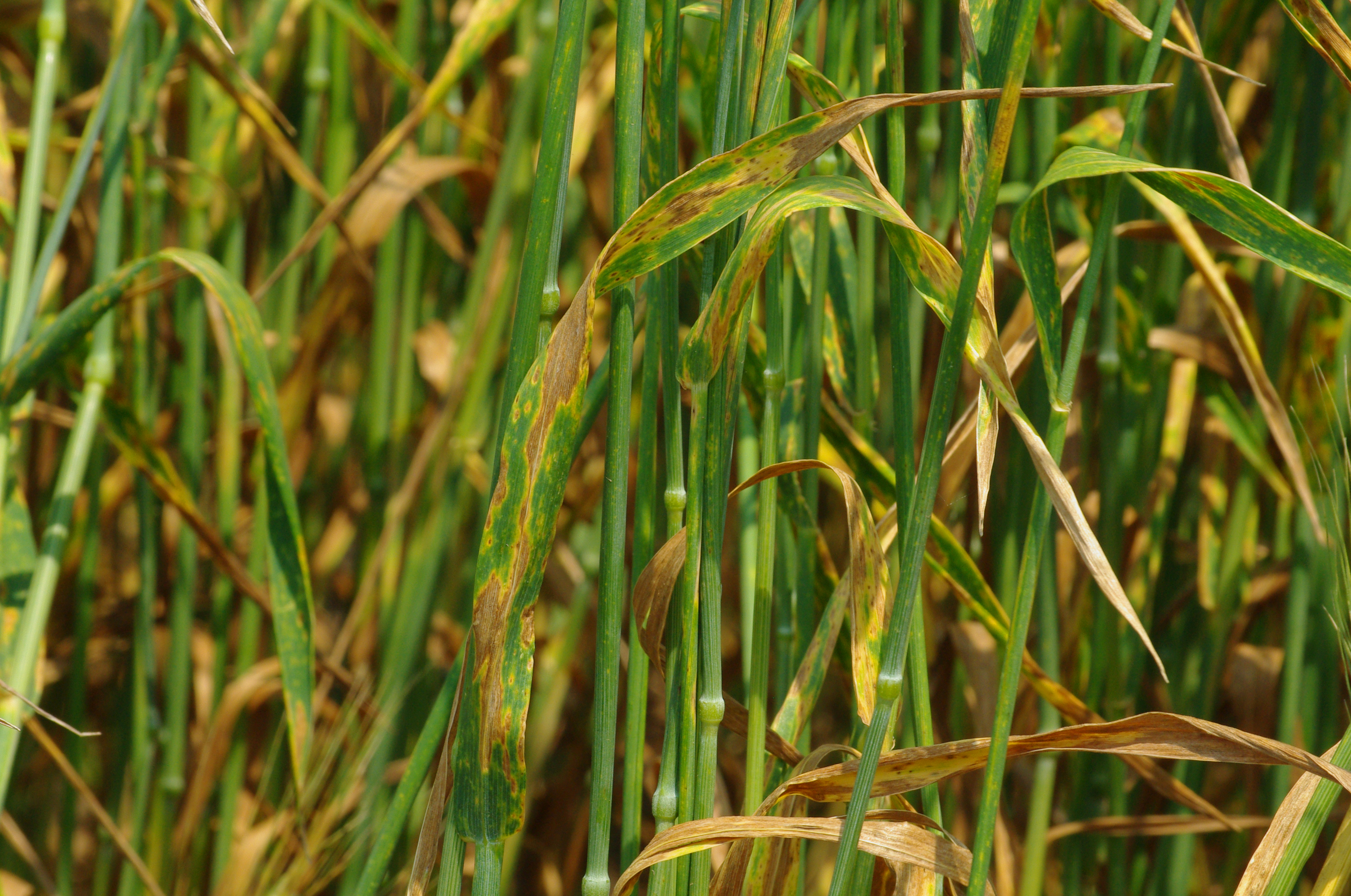 Septoria tritici blotch is common, often occurring alongside other foliar diseases.