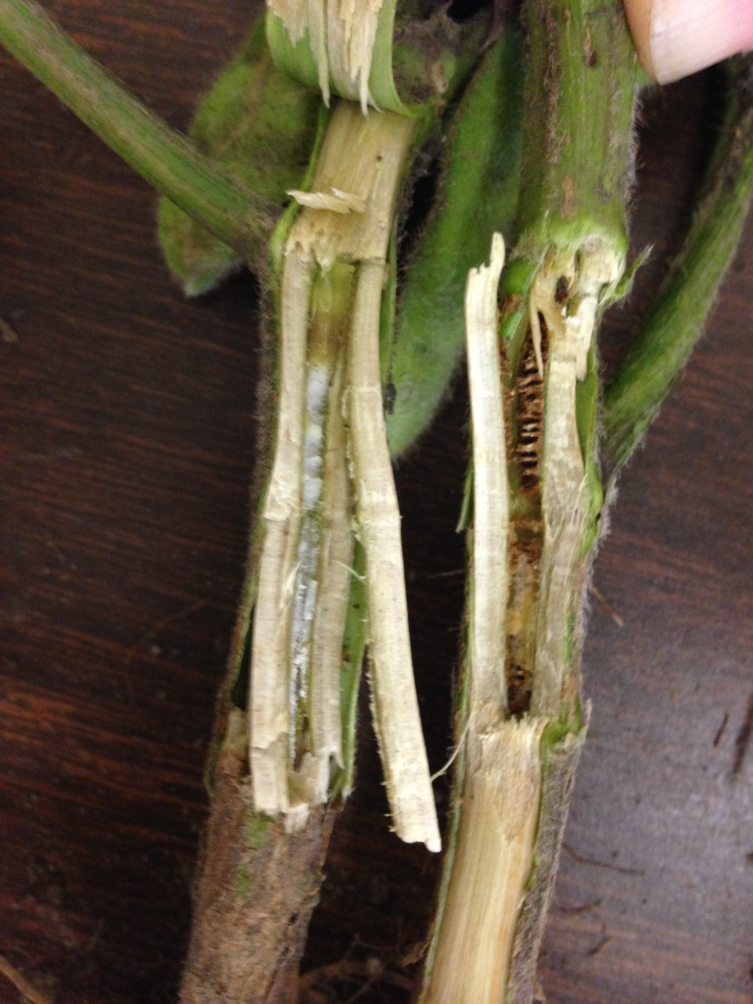 Vascular and pith tissue discoloration from brown stem rot.