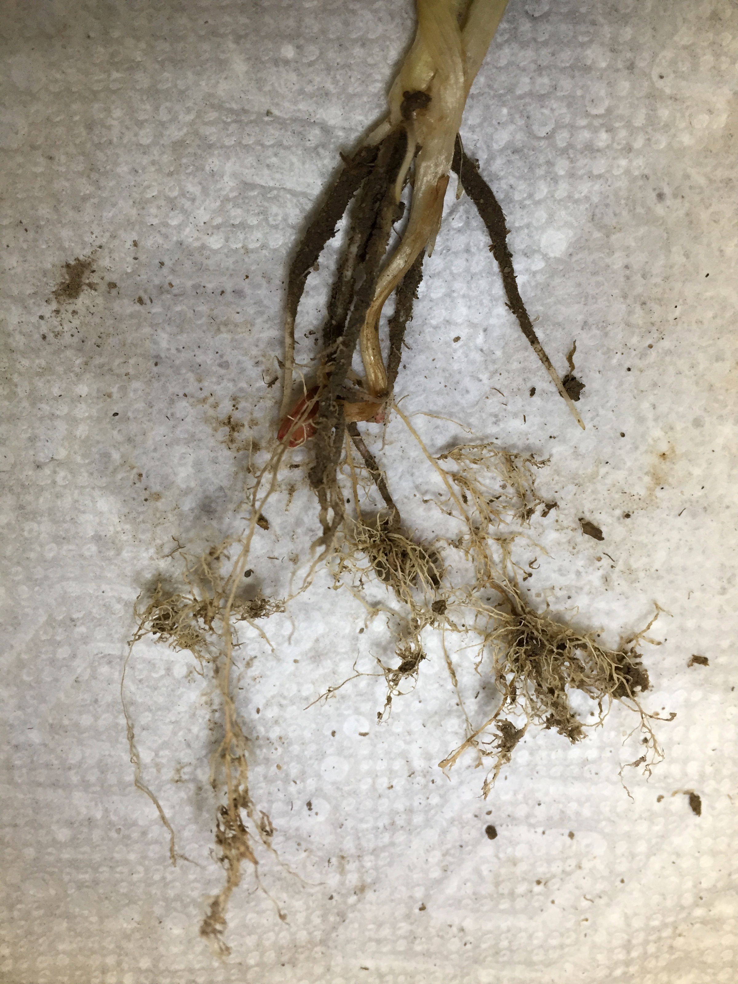 'Bushy knots' occur on roots at points of nematode invasion