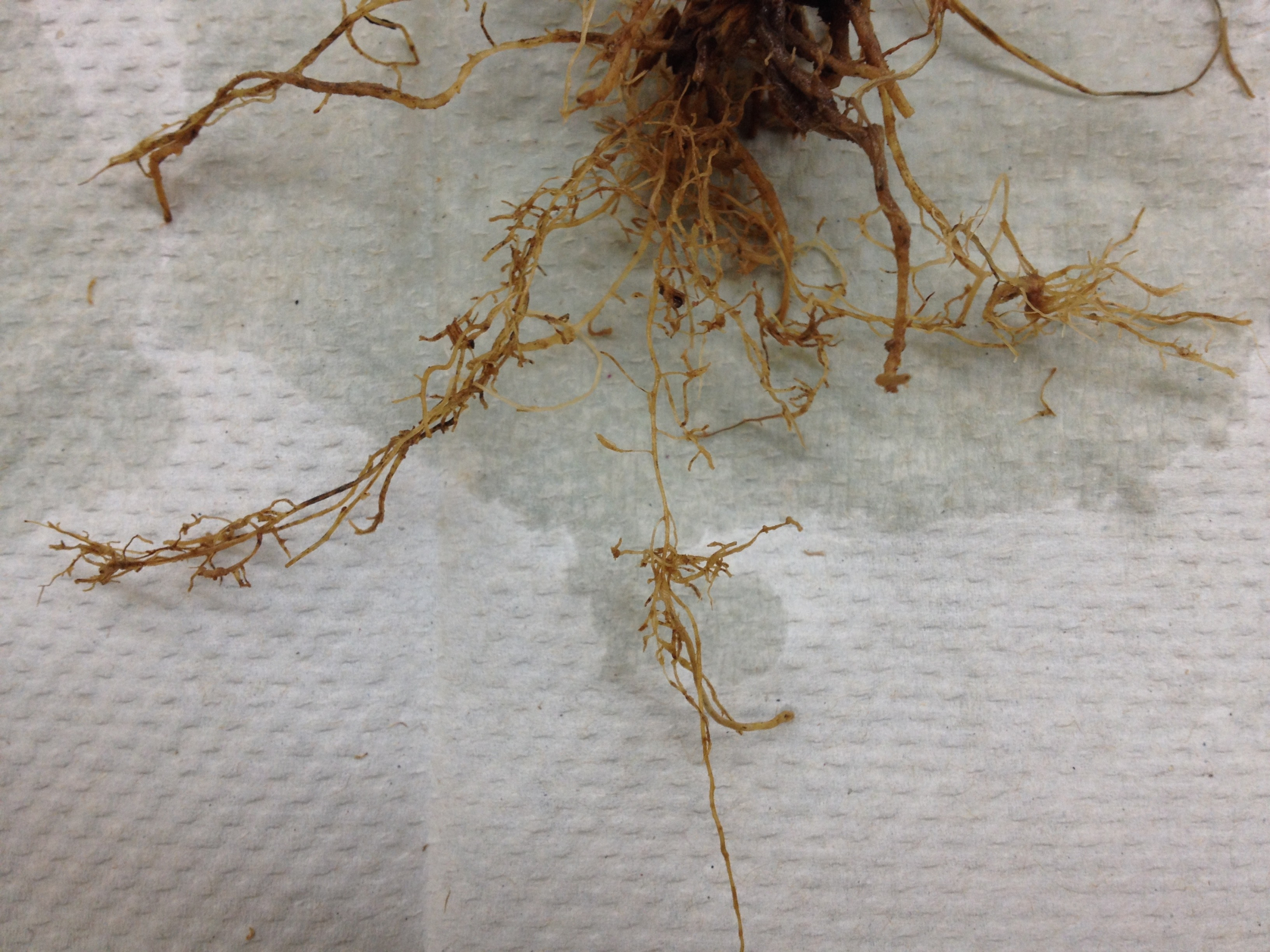Cereal cyst nematode root damage.