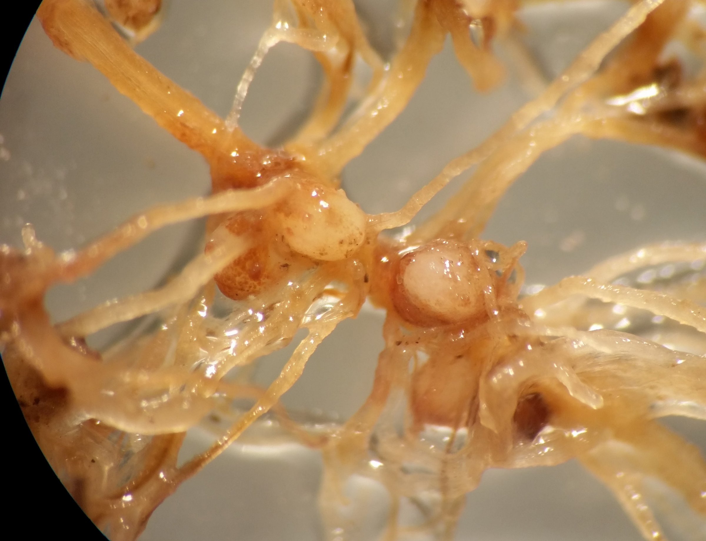 Cereal cyst nematode females attached to roots.