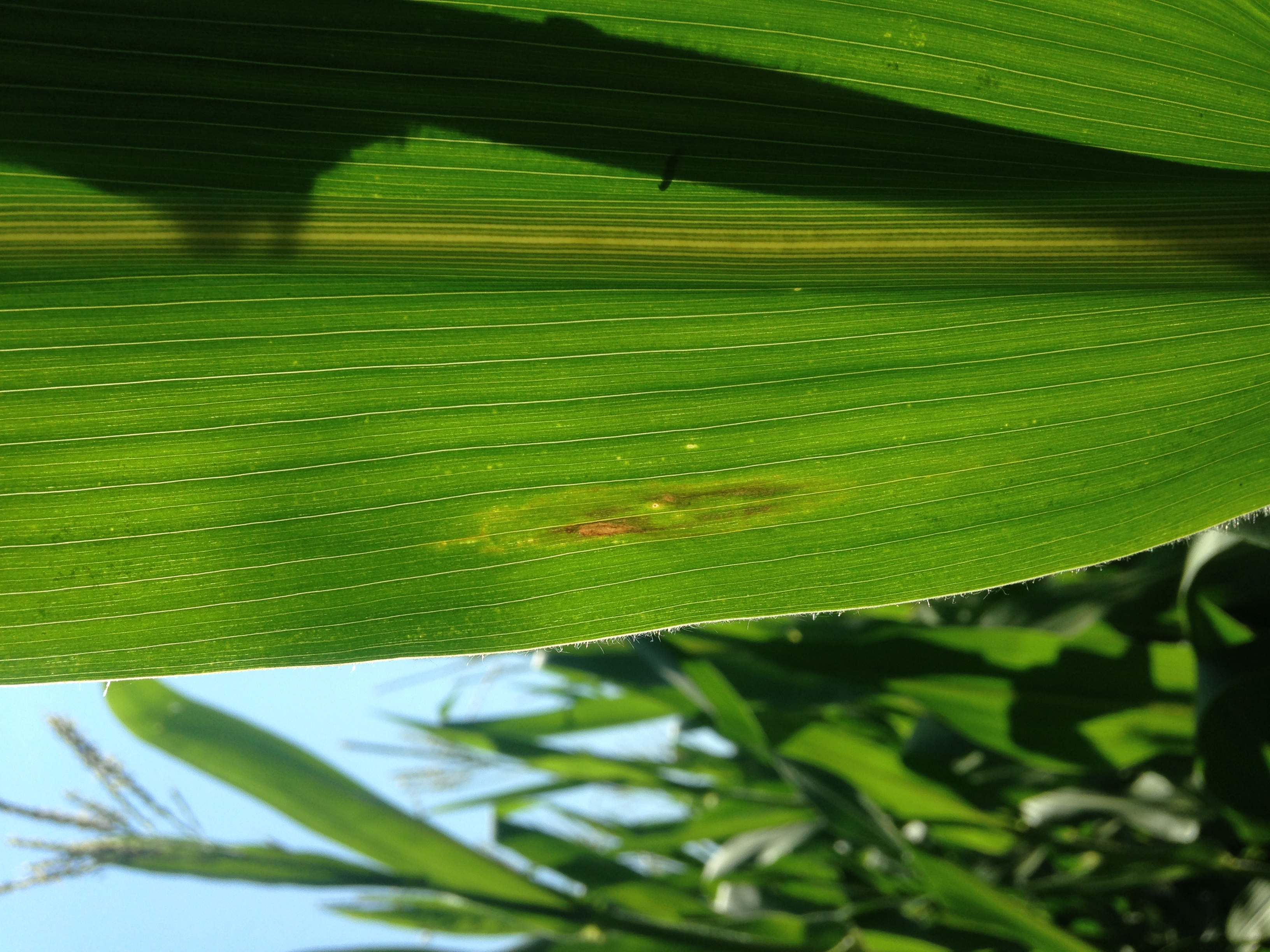 Hybrids resistant to northern corn leaf blight have smaller and less developed lesions.