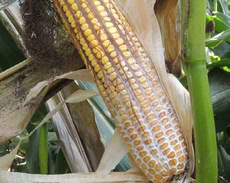 Visible signs of Diplodia ear rot on corn ear.