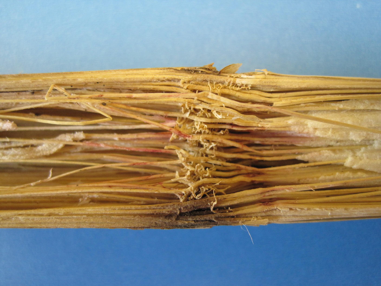 Pith shredding indicative of Fusarium stalk rot.