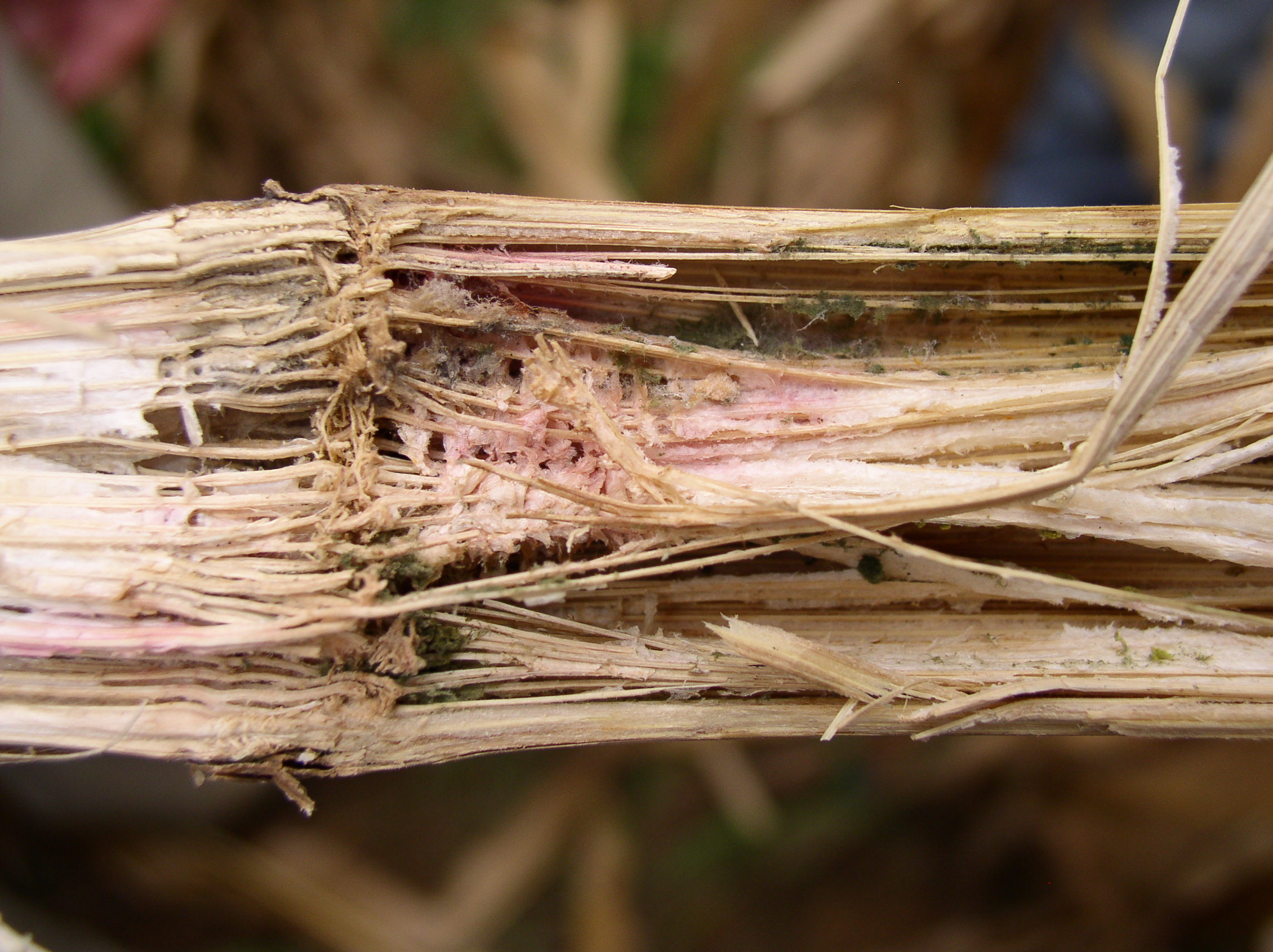 Pith shredding and discoloration indicative of Gibberella stalk rot.