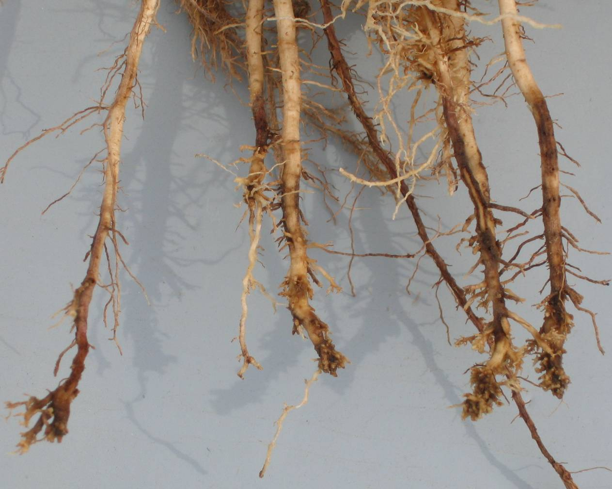 Nematode root injury with probable secondary fungal infections.