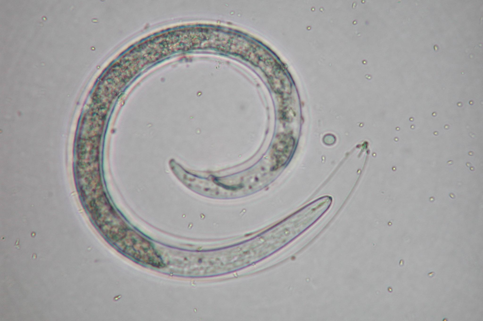 Reniform nematode male molting.