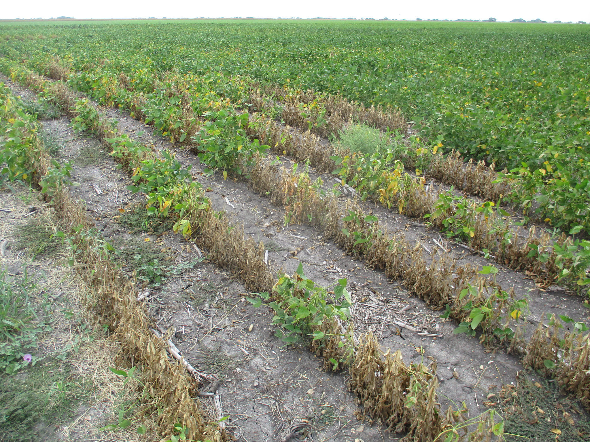 Patch of soybean plants with Phymatotrichum root rot symptoms.