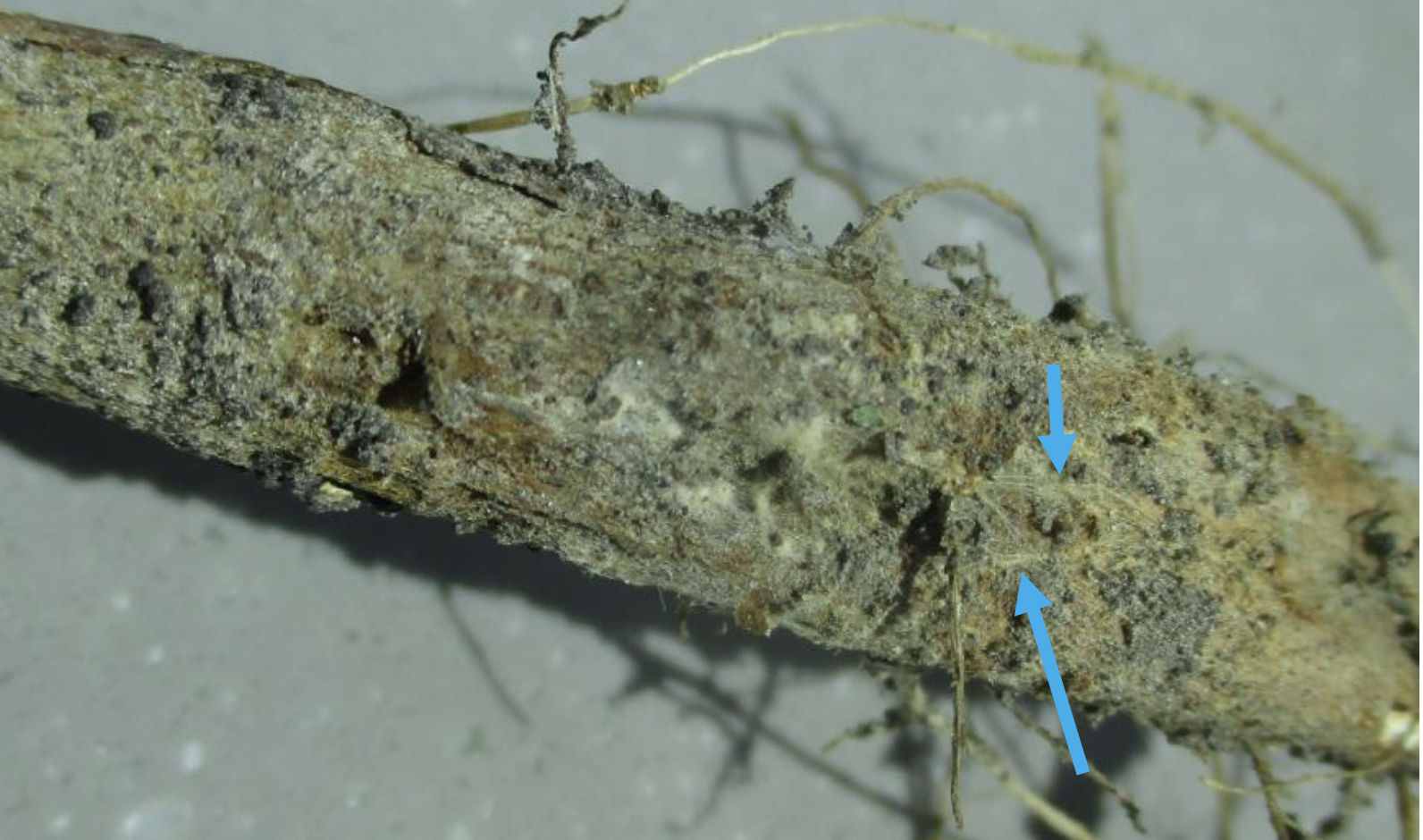 Root showing theadlike strands of fungal growth.