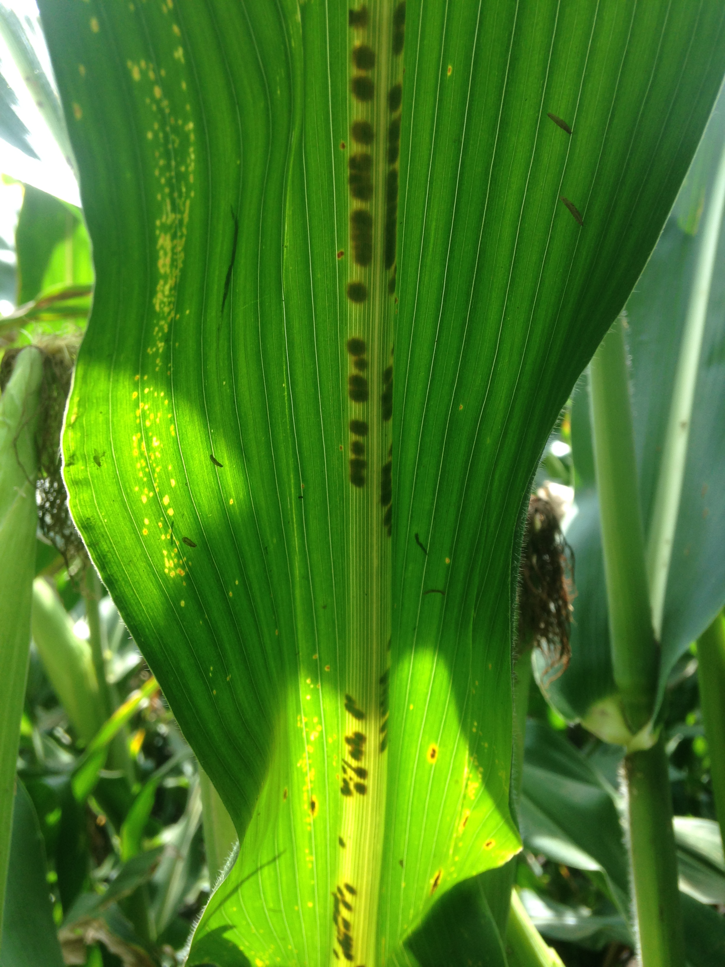 Dark spots occur on the midrib of leaves showing symptoms of Physoderma brown spot.