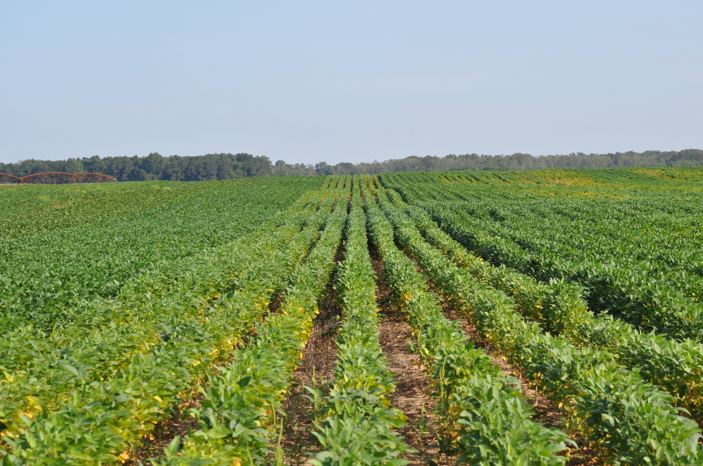Strips of soybean varieties with an without resistance to root-knot nematode.