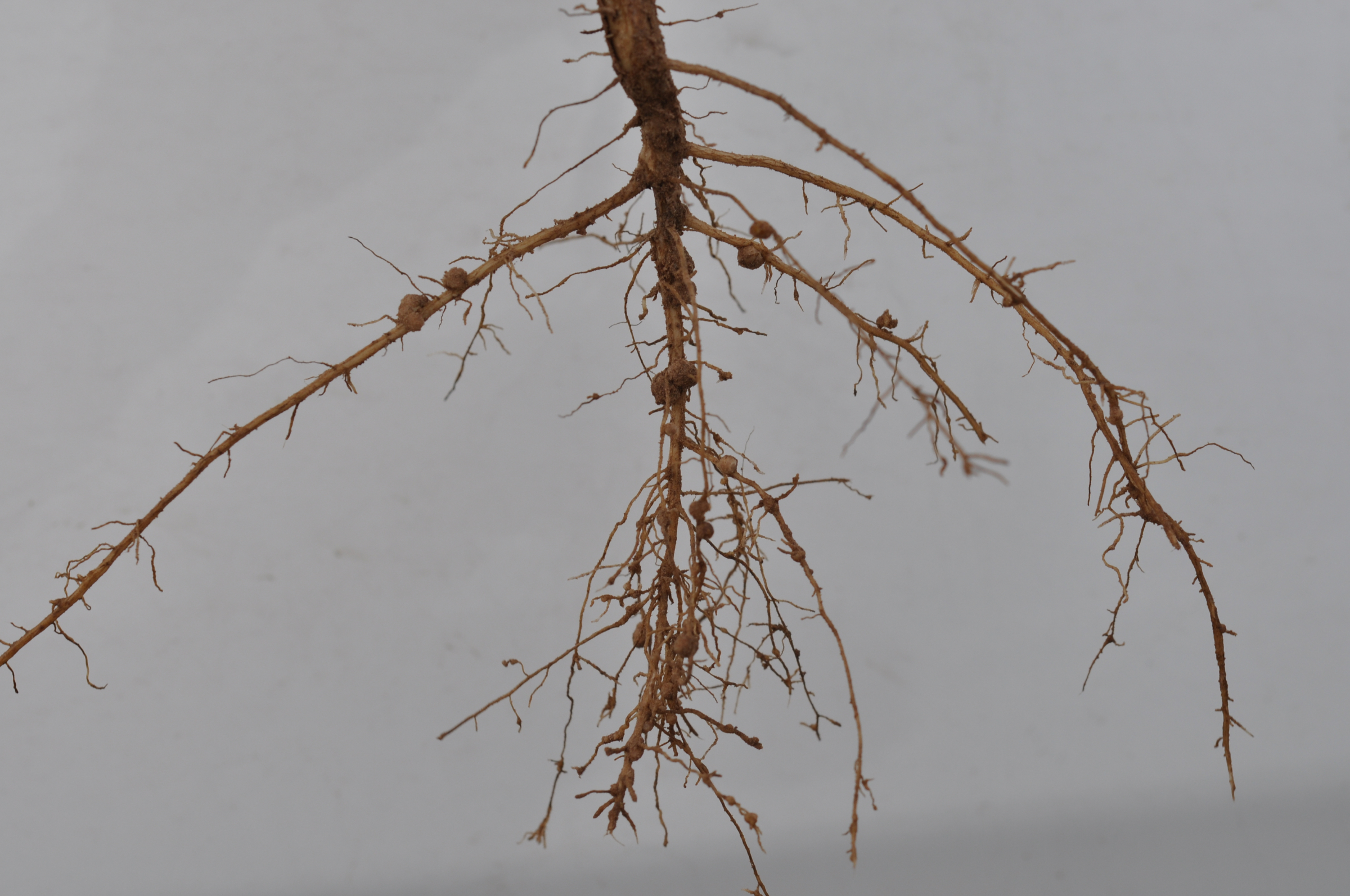 Small galls on V5-V6 soybean roots caused by root-knot nematode.