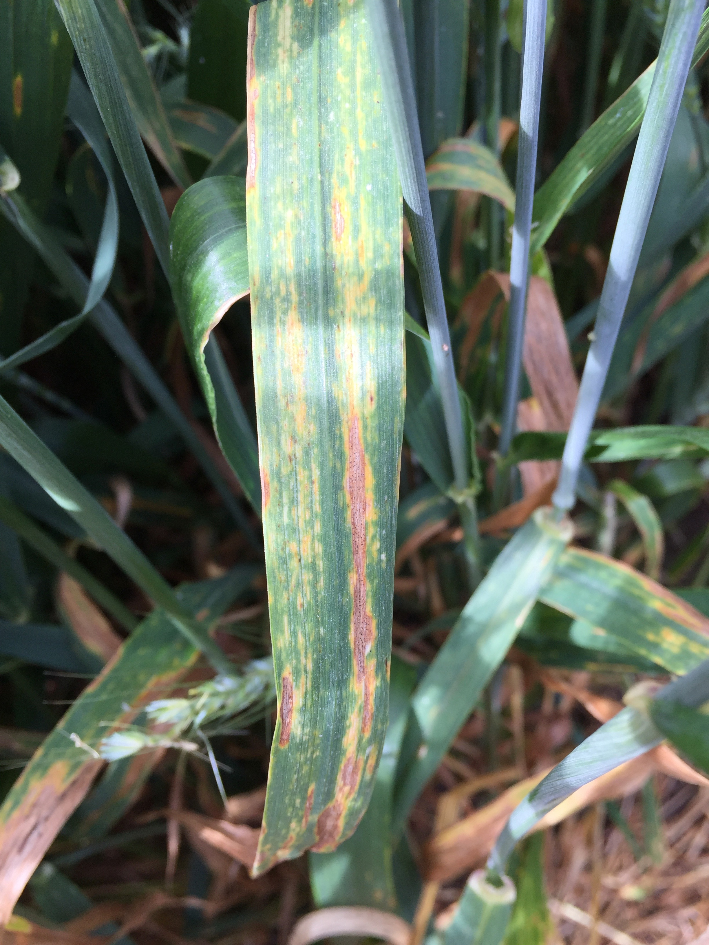 Tan spot leaf lesions on wheat.