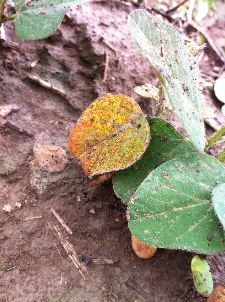 Seedling symptoms of taproot decline.