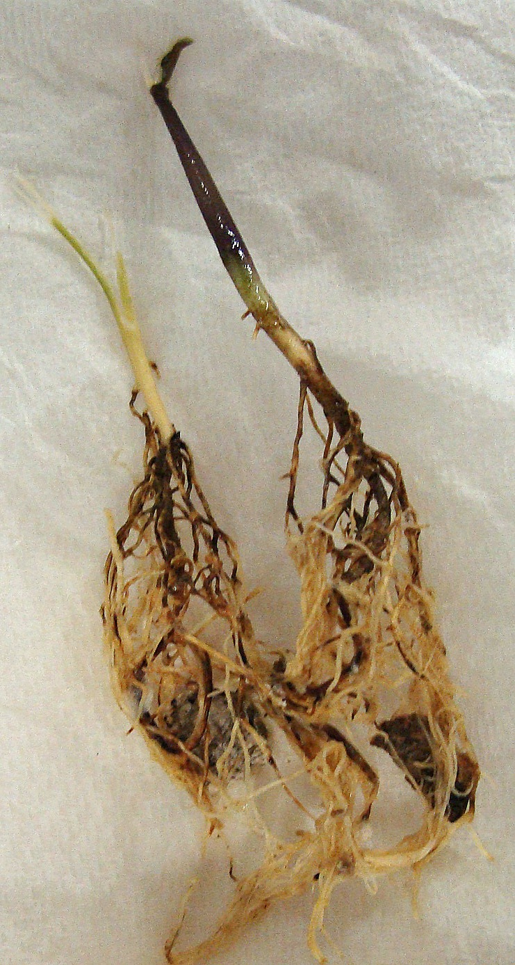 Discoloration of roots and rotting of hypocotyl caused by Thielaviopsis root rot.