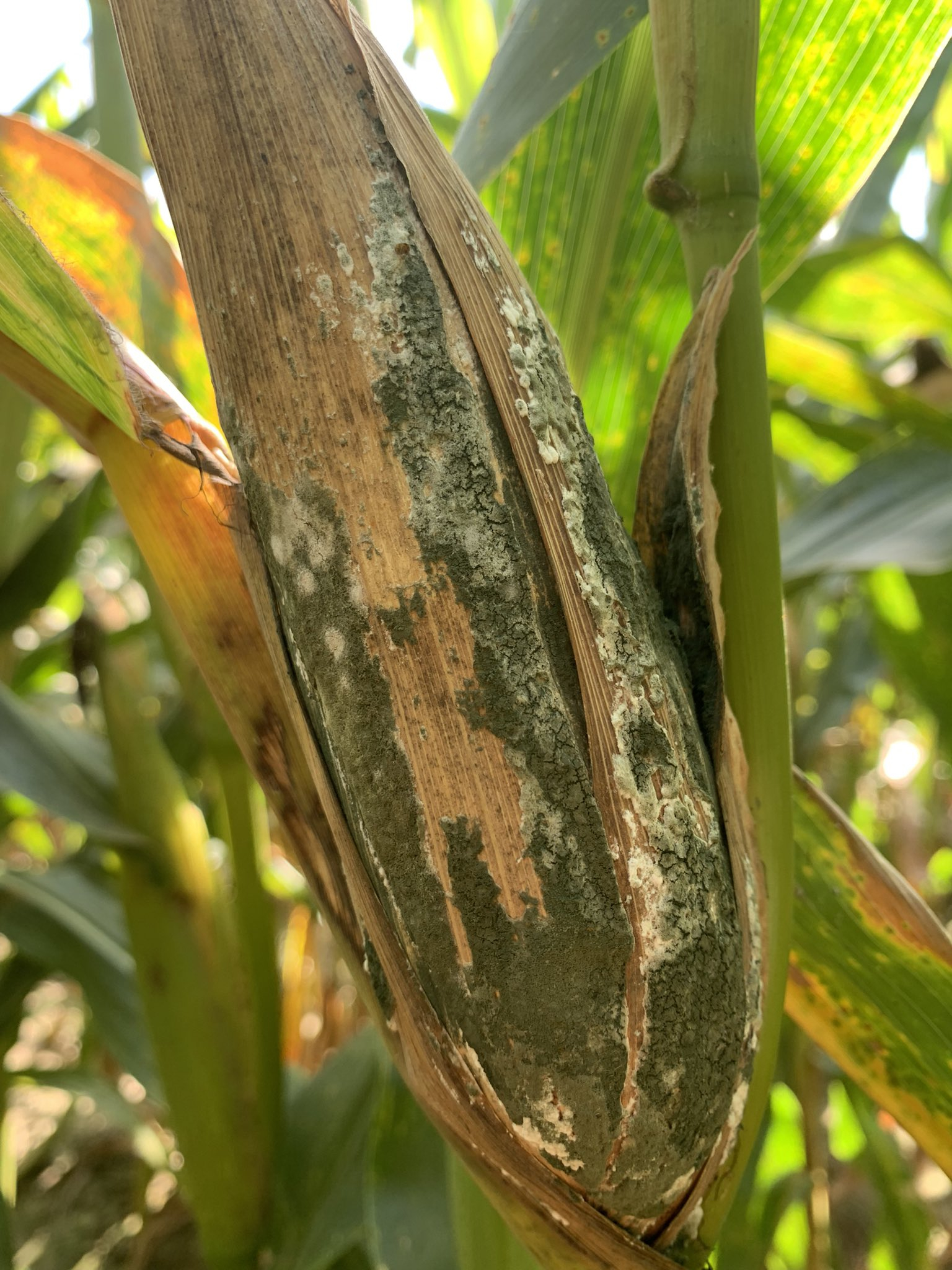 Trichoderma ear rot fungal growth on the husk.