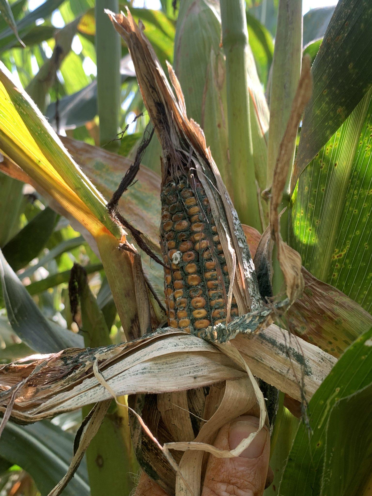 Trichoderma ear rot fungal growth on kernels.