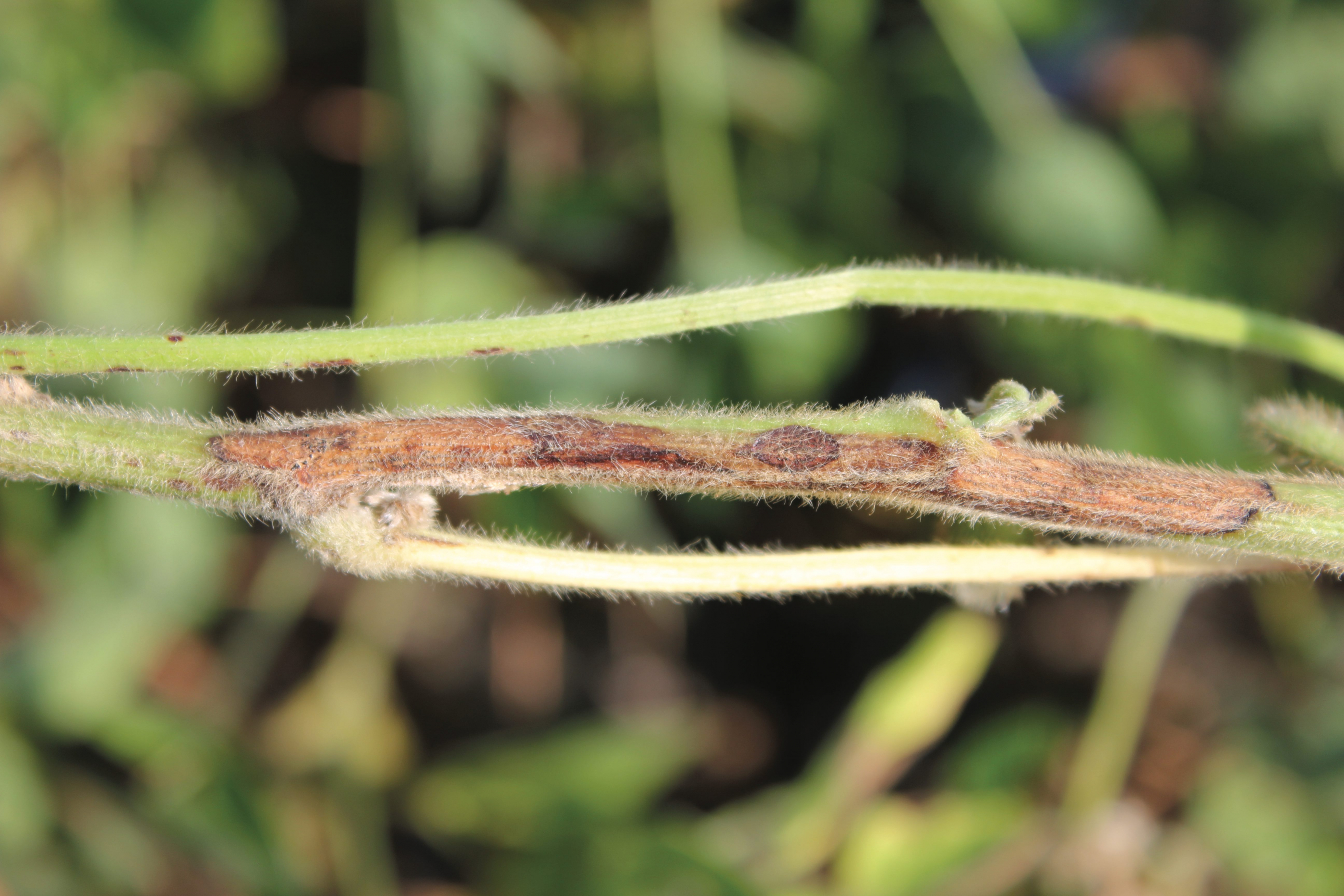 Figure 3. Cankers may extend over several nodes on the stem.