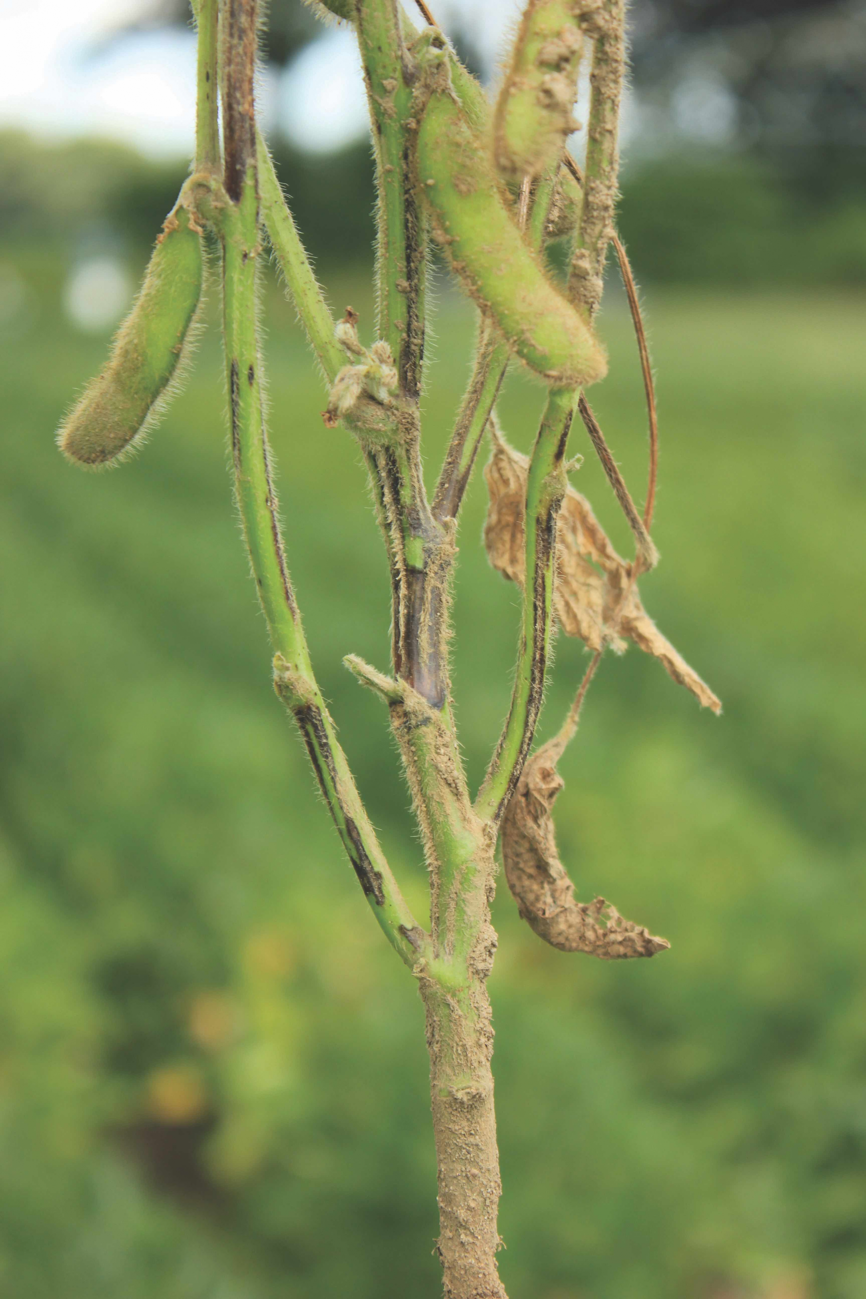 Figure 5. Diaporthe stem canker: Brown lesions occur at lower nodes and unlike the Phytophthora lesion are rarely observed at base of the plant.